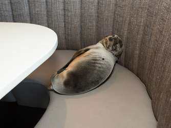 "<p>HANDOUT - An 8-month-old female California sea lion pup was found sleeping in a booth in the dining room of the iconic Marine Room restaurant in La Jolla, California on Thursday, February 4, 2016. Restaurant staff contacted SeaWorld who responded and rescued the animal. Photo: Mike Aguilera/SeaWorld (zu dpa: ""Hungriges Seelöwenbaby verirrt sich in Luxusrestaurant"" ACHTUNG: Nur zur redaktionellen Verwendung im Zusammenhang mit der Berichterstattung und der vollständigen Nennung der Quelle ""Mike Aguilera/SeaWorld"") +++(c) dpa - Bildfunk+++<"