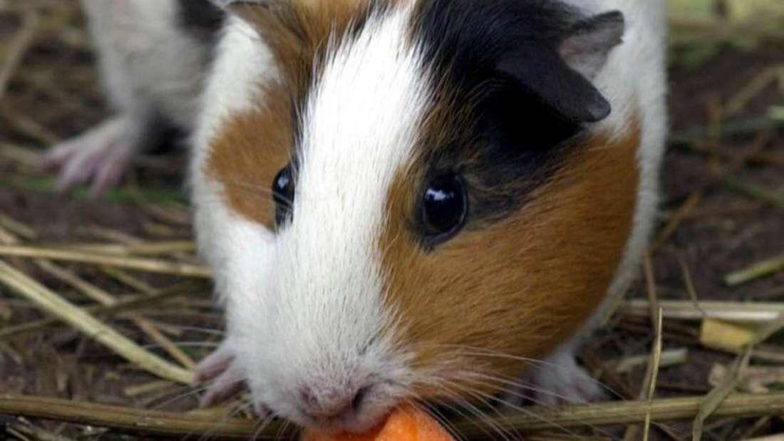 Gesunde Meerschweinchen können auch im Winter draußen leben. Der Halter sollte aber unbedingt die Ernährung des Nagers dementsprechend anpassen. Foto: Patrick Pleul/dpa-Zentralbild/dpa