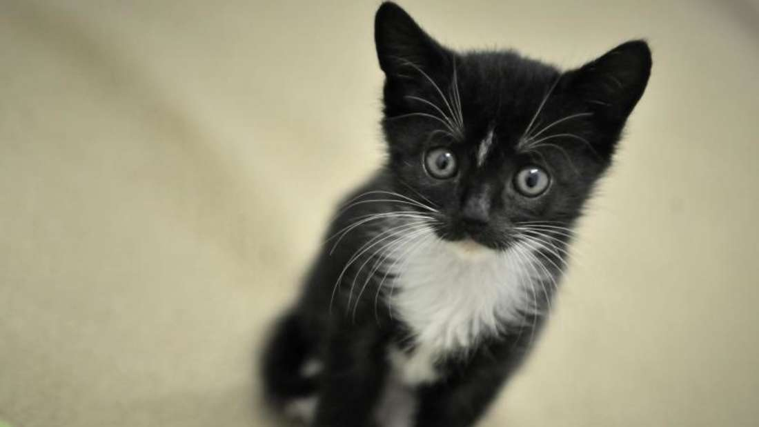 Wenn die Augen einer Katze tränen, deutet das auf eine Abflussstörung hin. Die Rassen Perser, Colourpoint, Burmesen und Abessinier sind von ihr besonders betroffen. Foto: Fredrik von Erichsen/dpa