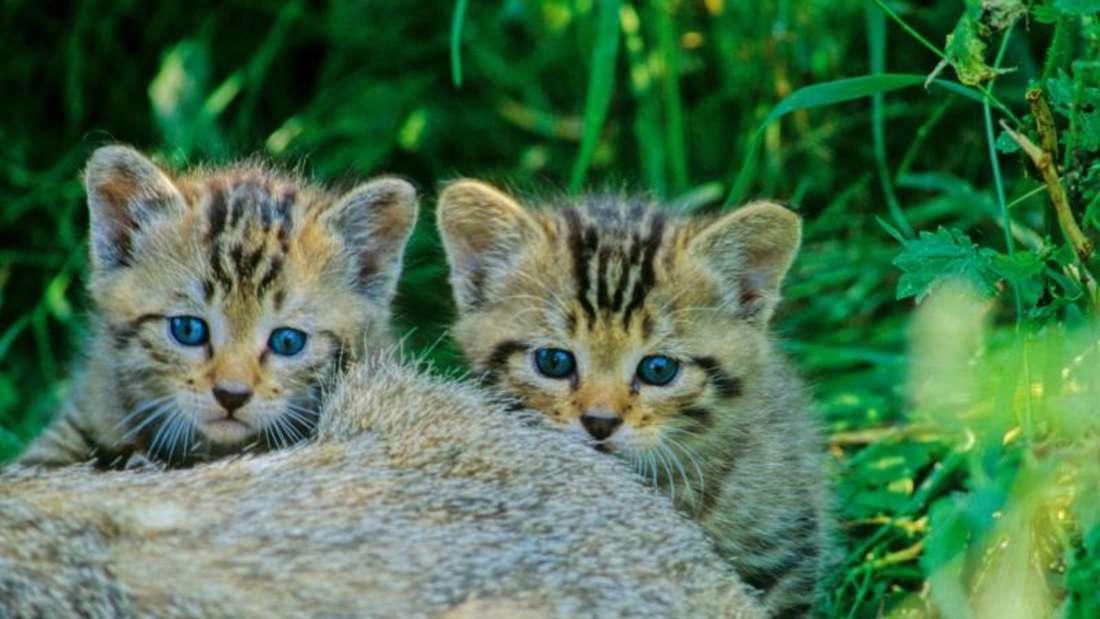 Gerade junge Wildkatzen sehen Hauskätzchen zum Verwechseln ähnlich. Foto: Thomas Stephan/BUND